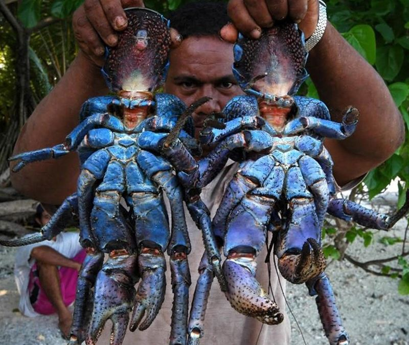 Birgus latro, o caranguejo de coco ladrão